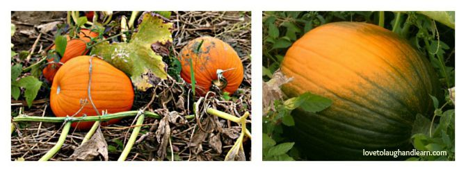 Pumpkins are Orange: Learning activities that include pumpkins.