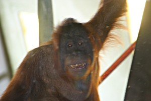 The Simon Skjodt International Orangutan Center: All Smiles