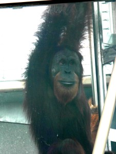 The Simon Skjodt International Orangutan Center: Rocky