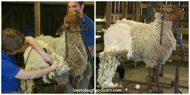 Shear Fun watching sheep being shorn at Conner Prairie Interactive Museum.