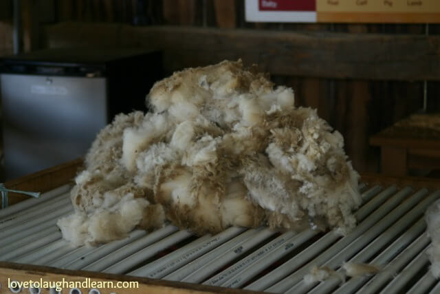 Wool from sheep that needs cleaned.